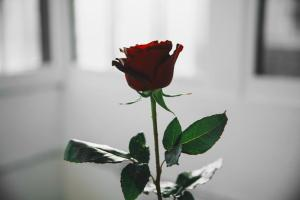 single-red-rose-in-white-light_